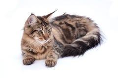 Кот, усаживание и смотреть на енота Мейна, изолированные на белизне Стоковая Фотография