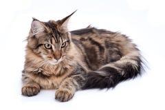 Кот, усаживание и смотреть на енота Мейна, изолированные на белизне Стоковая Фотография RF