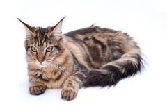 Кот, усаживание и смотреть на енота Мейна, изолированные на белизне Стоковое фото RF
