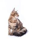 Кот, усаживание и смотреть на енота Мейна, изолированные на белизне Стоковые Фотографии RF