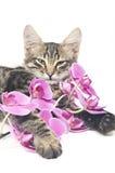 кот цветет пинк Стоковая Фотография RF