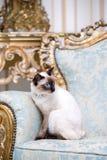 Кот 2 цветов без кабеля породы Меконга Bobtail с драгоценностью драгоценное ожерелье жемчугов вокруг его шеи сидит дальше стоковое изображение rf