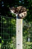 кот Черепах-раковины женский смотря камеру садился на насест между 2 Стоковая Фотография