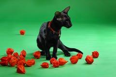 Кот черное сиамское восточное Shorthair Стоковое Изображение RF