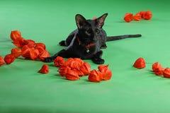 Кот черное сиамское восточное Shorthair Стоковое Изображение