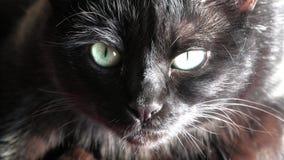 Кот черной пантеры видеоматериал