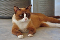 Кот чела Стоковая Фотография