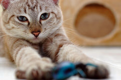 кот шаловливый Стоковое Изображение RF