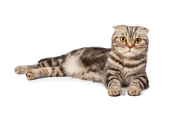 кот Шотландск-створки на белизне стоковые фотографии rf