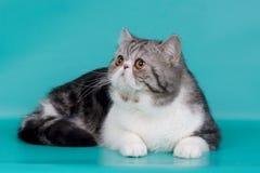 кот экзотический Стоковые Изображения