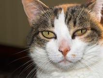 Кот любимчика с тиканием Scapularis Ixode Стоковые Изображения