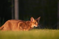 Кот Abyssinaian играя на лужайке в саде Стоковые Изображения RF