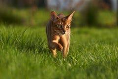 Кот Abyssinaian играя на лужайке в саде Стоковые Изображения