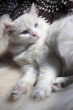 кот angora Стоковое Фото