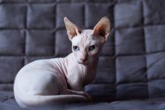 Кот Bambino Стоковые Изображения RF