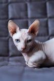 Кот Bambino стоковое фото