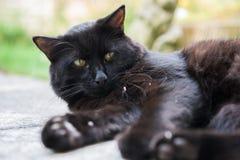 Кот Blak ленивый Стоковое Изображение