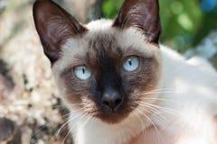 Кот, bobtail Меконга Стоковая Фотография RF