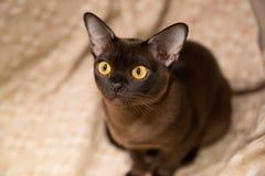 Кот Burman стоковые фото