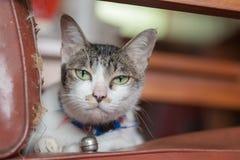 Кот Cuties сиамский Стоковое Изображение RF