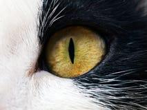 кот eyed Стоковое Изображение RF