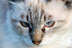 кот fiery Стоковая Фотография