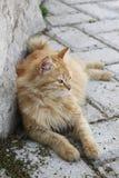 кот gazing Стоковые Фотографии RF