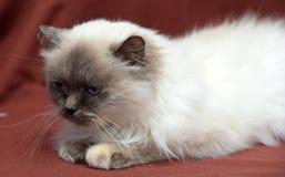 кот himalayan Стоковая Фотография