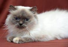 кот himalayan Стоковые Фото