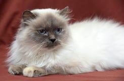 кот himalayan Стоковые Изображения