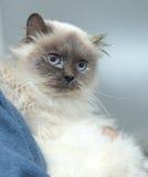 кот himalayan Стоковое фото RF