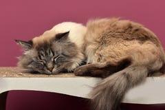кот himalayan Стоковая Фотография RF