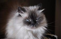 кот himalayan Стоковые Фотографии RF