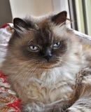 кот himalayan Стоковое Изображение RF