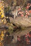 Кот Lynx Стоковые Изображения