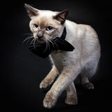 кот mekong bobtail 8 Стоковое Изображение