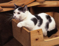 Кот Munchkin Стоковое Изображение RF
