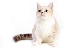 Кот Munchkin Стоковые Изображения RF