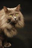 Кот Nebelung стоковые изображения rf
