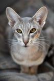 кот oriental Стоковое фото RF
