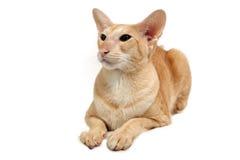 кот oriental Стоковая Фотография RF