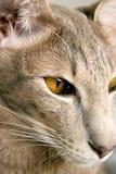 кот oriental Стоковая Фотография