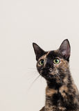 Кот peeking вне Стоковая Фотография