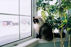 Кот Ragdoll на окне Стоковое Фото