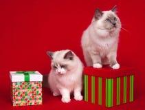 Кот Ragdoll с подарками стоковые изображения