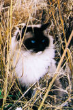 Кот Ragdoll Стоковые Изображения RF
