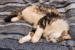 Кот ragdoll Tabby лежа вниз на голубых постельных принадлежностях Стоковые Изображения
