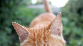 Кот Redhead касается его лапке и обнюхивается камеру сток-видео