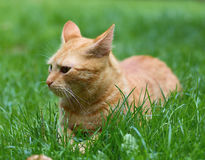 кот redheaded Стоковое Изображение