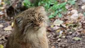 Кот ` s Manul или Pallas, manul Otocolobus акции видеоматериалы